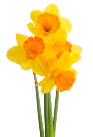 pic of daffodils  - Daffodil flower or narcissus  bouquet  isolated on white background cutout - JPG