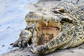 image of alligator baby  - Nile crocodile close - JPG