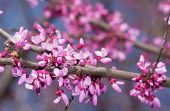 foto of judas tree  - Pink flowers on Eastern Redbud tree in early spring - JPG