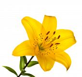 pic of lillies  - Beautiful lilly isolated on white background - JPG