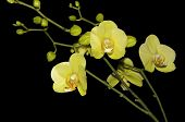foto of yellow orchid  - Yellow orchid flower on a black background - JPG