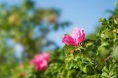 image of dog-rose  - Dog roses in warm sunny summer day - JPG