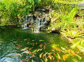 stock photo of koi fish  - koi carp fishes in the pond of Phuket Botanical Garden at Phuket island Thailand - JPG