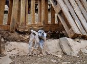 picture of goat horns  - Young Majorera goats  - JPG