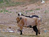 stock photo of goat horns  - Majorera goat  - JPG