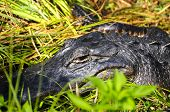 stock photo of alligator  - Closeup of an alligator resting in the sun - JPG
