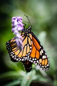 picture of monarch  - A colorful orange Monarch Danaus Plexippus butterfly - JPG