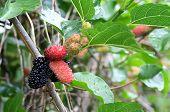 Mullberries On A Vine