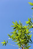 foto of bamboo leaves  - Bamboo green leaves on blue sky background - JPG