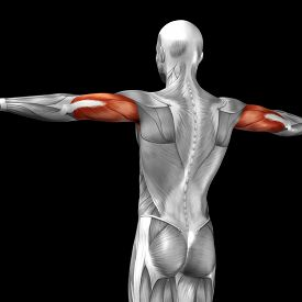 image of triceps brachii  - Concept or conceptual 3D triceps human anatomy or anatomical and muscle isolated on black background - JPG