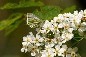 Wild Cherry (prunus Avium)