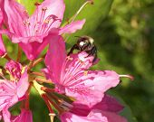 Weigela And Bee