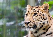Jaguar'S Head