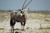 Gemsbok In Etosha #4