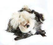 Bearded Collie, 4 years old, of white background