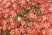 Clerodendrum paniculatum flowers at full bloom a delight