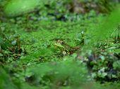 Green Frog 003