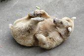 Bear lying on the back