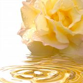 image of broken heart flower  - yellow rose with reflection in the water - JPG
