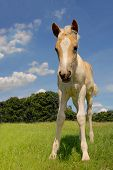 cute haflinger filly in a fresh green meadow and with blue sky background