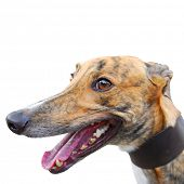 portrait of greyhound isolated on white square background