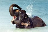 Cute Asian elephant splashing with water while taking a bath in Chitwan N.P. Nepal