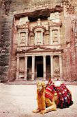 Camel in front of world wonder Petra, Jordan