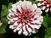 White And Pink Flower 2