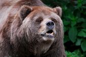 Brown kodiak bear