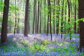 Wild bluebell hyacinths and beech trees in forest 'Hallerbos', Belgium
