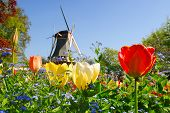Dutch windmill and colorful tulips and forget-me-not flowers in famous spring garden 'Keukenhof', Ho