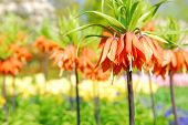 Orange Crown Imperial or Kaiser's Crown (Fritillaria Imperialis) in spring garden 'Keukenhof', Holland