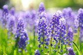 Blue grape hyacinth or 'muscari armeniacum' with shallow dof in dutch spring garden 'Keukenhof', Holland