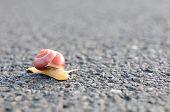 Beautiful snail crossing asphalt road