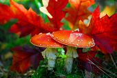 Red mushroom (Amanita Muscaria also known as Fly Ageric or Fly Amanita) and autumn leaves