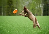 Brown Standard Poodle Running And Jumping Joyfully In A Meadow. Playful Dog Playing With A Toy In Th poster