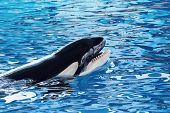 The Killer Whale Or Orca (orcinus Orca) Animals And Wildlife poster