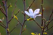 Flowering Magnolia Bush. Bush With Magnolia Flower. White Flowering Shrub On Green Field. Closeup Of poster