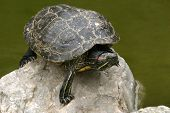 animal nature photo, Red-eared Slider (Trachemys scripta elegans)