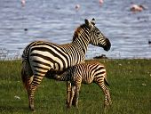 Zebra - Under mother's care