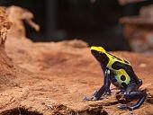 sapo amarelo preto e azul Dendrobatidae, dendrobates tinctorius pet o animal do terrário
