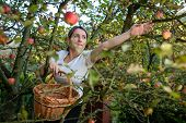 Middle aged woman picking apples in her orchard - soon there will be a lovely smell of apple pie in  poster