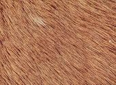 Fluffy Wet Brown Horse Winter Fur. Animal Hair Of Fur Ponny Leather. Natural Fluffy Brown Cowhide Bo poster