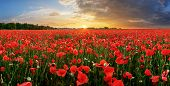 Red Nice A Poppy Field At Sunset poster