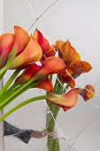 Orange Calla Lilies (zantedeschia) With Broken Mirror