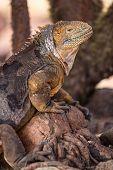 Galapagos Land Iguana. Yellow land iguana climbing in tree on North Seymour. Amazing animals and wil poster