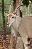 stock photo of eland  - The elands are spiral-horned antelopes belonging to the Bovid tribe of Tragelaphini.