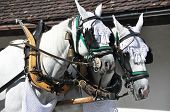 stock photo of blinders  - Pair of horses in harness - JPG