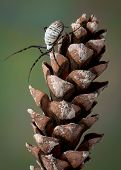 Spider On Pine Cone