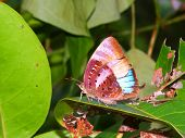 Rainforest Butterfly In Queensland